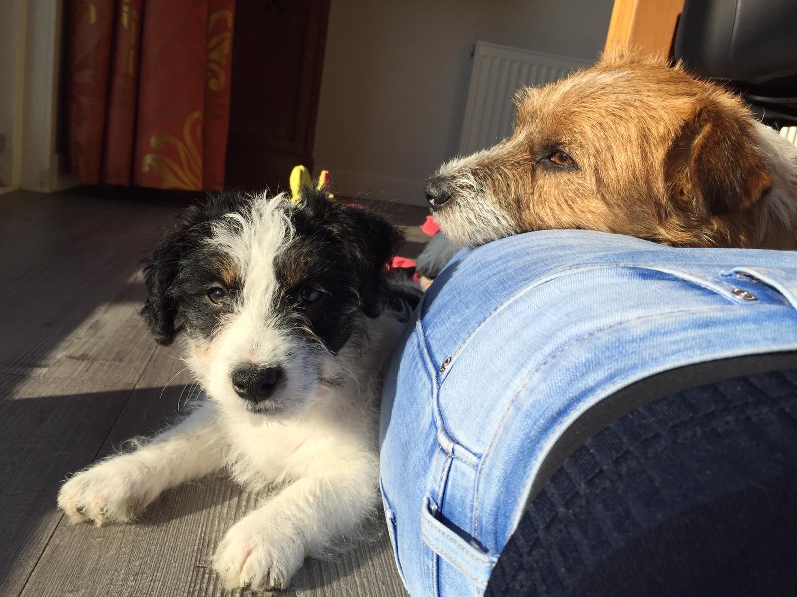 Puppy cursus hondenschool Frauke Kneepkens Schouwen-Duiveland